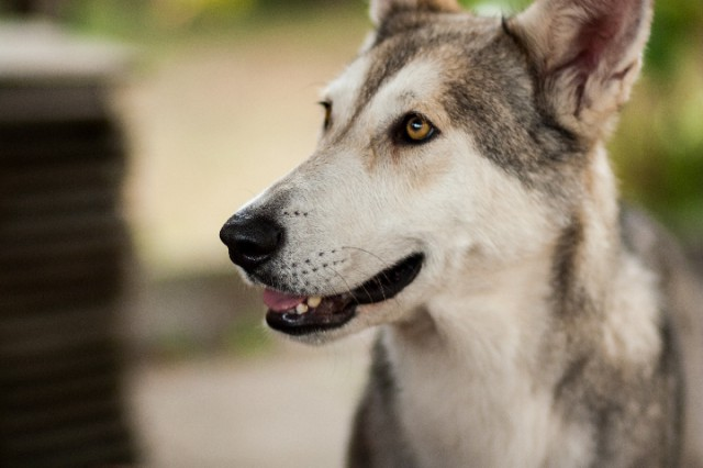"""Kennel """"Whitefang's of Angou Loup's Mountain"""""""